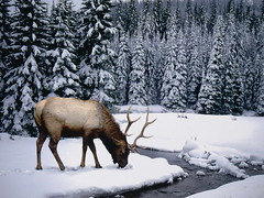 AX001905 (thùydươngphạm) Tags: animals canada colorphotography conifer deer elk evergreen freshwater mammal naturalworld nobody northamerica outdoors photography pinetrees quiet remote runningwater seasons serenity snow stream trees wapiti water wildlife winter