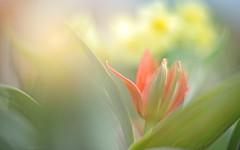 Saturdays Tulip... (KissThePixel) Tags: tulip tulips redtulips red flower flowers redflowers spring april nikon nikondf nikkor12 50mm light macro bokeh dof dofalicious bokehlicious beauty love garden cottage cottagegarden nature