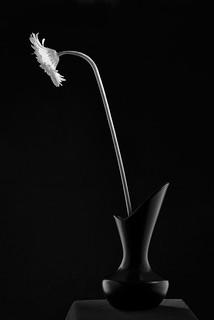 Curved Black Vase With Gerber