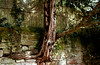 Kaiserslautern, Japanese Garden, Zen-Garden, Taxus trunk - Zen-Garten, Eibenstamm (HEN-Magonza) Tags: kaiserslautern japanischergarten japanesegarden amabendsberg rheinlandpfalz rhinelandpalatinate deutschland germany zengarden zengarten eibe taxus baumstamm treetrunk