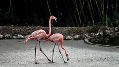 Flamingoes (Pedro1742) Tags: pink animals two flamingos twins