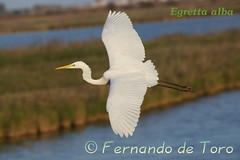 Egretta alba (Garceta grande) (F de Toro) Tags: adulto amposta animales ardeidae aves birds catalunya deltadelebro egrettaalba españa fauna lagunas spain tarragona