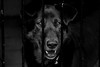 Projekt w schronisku (mnhwheart) Tags: dog rights animal blackwhite eyes portrait