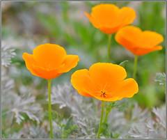 Spring Orange (tdlucas5000) Tags: poppies californiapoppies closeup macro bokeh d850 sigma105