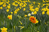 Alone in a crowd (PentlandPirate of the North) Tags: astburygreen daffodils gerbera spring flowers individual personality charisma