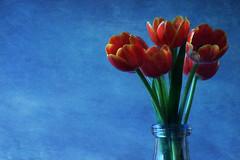 Last Spring (alideniese) Tags: smileonsaturday springflower20172018 flowers tulips flora botanical stilllife alideniese texture painterly colour colourful dark light shadow orange blue contrast vase glass sidelit daylight spring season springflowers