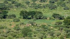 Tsavo-West-Nationalpark-2821 (ovg2012) Tags: giraffatippelskirchi kenia kenya masaigiraffe massaigiraffe tsavowestnationalpark