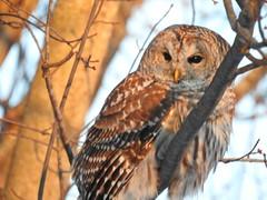 Coolpix P900 Barred Owl (richstu) Tags: barred owl minnesota nikon coolpix p900 snow