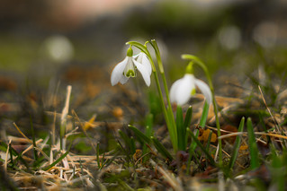 As a small jewel blooming in the heart of winter...