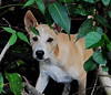 ,, Same Same But Different ,, (Jon in Thailand) Tags: dog puppy jungle green deepjungle nikon d300 nikkor 70300vr puppyeyes dogeyes puppyears dogears dogexpression puppyexpression puppynose dognose alertpuppy samesamebutdifferent dogtick tickonpuppy themonkeytemple littledoglaughedstories