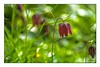 Schachbrettblume (günter mengedoth) Tags: schachbrettblume vintagelens bokeh nahaufnahme blume meyeroptik görlitz orestor 135 mm f 28 meyeroptikgörlitzorestor135mmf28 saariysqualitypictures