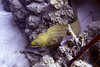 Green moray (Jeff Mitton) Tags: moray morayeel greenmoray reef coralreef marine tropical bonaire caribbean scuba caribbeansea earthnaturelife wondersofnature