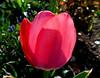 Tulipan. (andrzejskałuba) Tags: polska poland pieszyce dolnyśląsk silesia sudety europe panasoniclumixfz200 roślina plant kwiat flower tulipan tulip czerwony red zieleń green garden ogród natura nature wiosna spring 100v10f