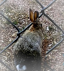breaking out (marieschubert1) Tags: cotton tail rabbit bunny cute free natur animal wildlife colorado fence wire outside eyes ears fur soft shy