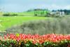 Tuscany landscape (SLpixeLS) Tags: italy italie tuscany toscane toscana landscape paysage flower fleur dof depthoffield profondeurdechamp bokeh
