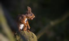 Red Squirrel (andywilson1963) Tags: redsquirrel squirrel wildlife scotland british woodland