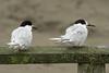 20180416_7579_7D2-400 Two White-fronted terns at rest (johnstewartnz) Tags: bird birds whitefrontedtern sternastriata newbrighton newbrightonbeach canon canonapsc apsc eos 7d2 7dmarkii 7d canon7dmarkii canoneos7dmkii canoneos7dmarkii 400mm 400