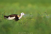 Pheasant Tailed Jacana (Jawad_Ahmad) Tags: nature natureart naturephotographer naturephotography beautyofnature beautiful wildlifephotography wildlifeofpakistan wildlife pheasanttailedjacana sialkot flicker birdphotography travelling hobby green jawadsphotography pakistan