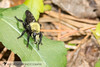 Bee-like Robber Fly (Laphria flavicollis) 20180408_5590.jpg (Abbott Nature Photography) Tags: neoptera organismseukaryotes endopterygota arthropodaarthropods animals dipteratruefliesfly brachycera pterygota invertebratainvertebrates hexapoda insectainsects gordo alabama unitedstates us