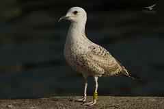 Larus michahellis (ZéMarks) Tags: yxrg ringeuropelarusmichahellis larusmichahellis yellowleggedgull goélandleucophée gaviotapatiamarilla gaivotadepatasamarelas gulls matosinhos