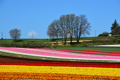 Fields of tulips France_8769 (ichauvel) Tags: champsdetulipes fieldoftulips fleurs flowers champs fields nature beautédelanature beautyofnature avrilapril matin morning printemps spring exterieur outside alpesdehauteprovence provencealpescôtedazur france europe westerneurope multicolore couleursvives getty