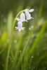 Dewblingous (Sarah_Brooks) Tags: sping whitebells wildflowers flower white green bling bokeh morning