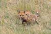 Red Fox kit exploring the world (TonysTakes) Tags: fox redfox kit foxkit weldcounty wildlife colorado coloradowildlife