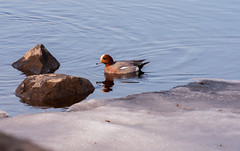 Haapana (Mareca penelope) (PetuPictures) Tags: bird lake nature spring ice rock finland wildlife wild life light