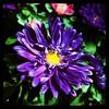 Spring brilliance. #collegepark #maryland #iPhone #commute #sidewalk #roadside #iPhonemacro #macro  #flower #flowersofinstagram (Kindle Girl) Tags: roadside collegepark maryland iphone commute sidewalk iphonemacro macro flower flowersofinstagram