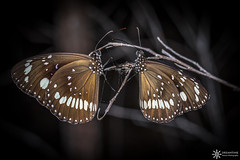 Common crow (Dreamtime Nature Photography) Tags: commoncrow euploeacore butterfly insect insecte papillon lepidoptera animal wildlife bowen qld queensland australia australie canon macro canon7dm2 7dmii dreamtimenaturephotography nature