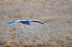 Wingspan (Neal D) Tags: bc delta boundarybay bird heron greatblueheron ardeaherodias