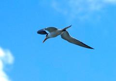 Royal Flyover (elhawk) Tags: royaltern tulum yucatan