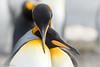 Love (Nedko Nedkov) Tags: 2018 autumn falklandisland falklands fall king march pinguin bird birdphotography wildlife penguin