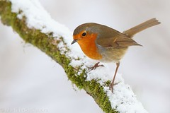 Robin in snow 9374(6D3) (wildlifetog) Tags: red robin snow alverstone isleofwight uk mbiow martin blackmore britishisles britain bird birds british wild wildlife nature canon england european eos6d