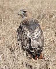 79of365 (duffy2317) Tags: nikon d7000 redtailedhawk hawk nikkor 70300mm f4556g ifed afs vr zoom birdinginthewild birdphotos animalphotos