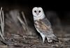 Eastern Barn Owl (chrissteeles) Tags: easternbarnowl barnowl owl nocturnal raptor bird birding birdofprey southaustralia sa barossa