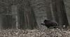 (jopieborst) Tags: wildzwijn wildboar nature veluwe natuur canon400mm56 canon70d wildlife naturephoto