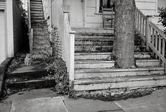 Portland (austin granger) Tags: portland oregon tree cat sidewalk growth size steps porch film gw690