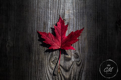 Canadian Maple Leaf (Cminor_photography) Tags: canada canadian maple leaf mapleleaf tree bench wood burn nature naturephotography plant plantphotography treephotography london live life explore exploreontario red ontario creative sigma sigma1850mm fall composite setup contrast park fallen flag canadianflag leaves iamcanadian