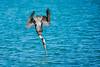 DIVE (BernieErnieJr) Tags: dive bernie duhamel greatphotographers teamsony sonya9 sonyfe100400mm naplesbeach naples florida ocean gulfofmexico sea fishing fish