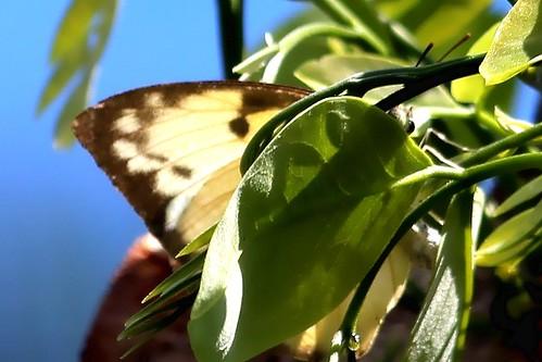 IMG_1908/Thailand/Koh Samui Island/Catopsilia Pomona Pomona Jugurtha in the leaf/femelle/Verso