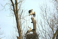 the storks are back 9 (photos4dreams) Tags: gersprenz münster hessen germany naturschutz nabu naturschutzgebiet photos4dreams p4d photos4dreamz nature river bach flus naherholung storch störche stork storks adebar canoneos5dmark3 canoneos5dmarkiii