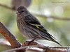 Pine Siskin (Arvo Poolar) Tags: bird outdoors ontario canada arvopoolar algonquinpark perched park nature natural naturallight nikond7000 naturephotography pinesiskin trres
