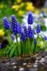 Droplets (JinxiPhotography) Tags: flower macro blue blur focus close garden uk england