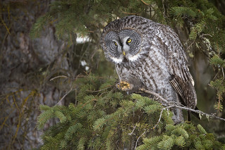 Spruce Bough Great Grey Owl