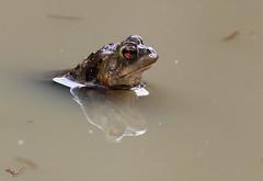In der Pfütze 2 (svensonkra26) Tags: wasser erdkröte pfütze kröte amphibien teich frühjahr