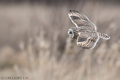 Short-eared Owl (Gregory Lis) Tags: shortearedowl asioflammeus gorylis gregorylis nikond810 nikon owl