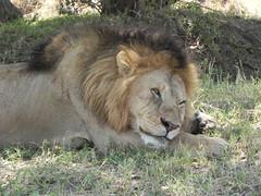 Lion in Masai Mara National Park, Kenya (Wild Anna) Tags: lion lioness big5 masaimara kenya africa wildlife wildlifephotography nature naturephotography gamedrive cat animal
