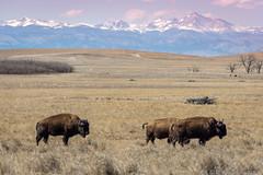 Rocky Mountain Arsenal (Ciavatta Photography) Tags: rockymountainarsenal bison colorado denver commercecity