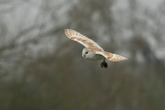 BARN OWL (_jypictures) Tags: animalphotography animals animal canon7d canon canonphotography wildlife wildlifephotography wiltshire nature naturephotography photography pictures birdphotography bird birds birdwatching birding birdingphotography birders barnowl owl hunting